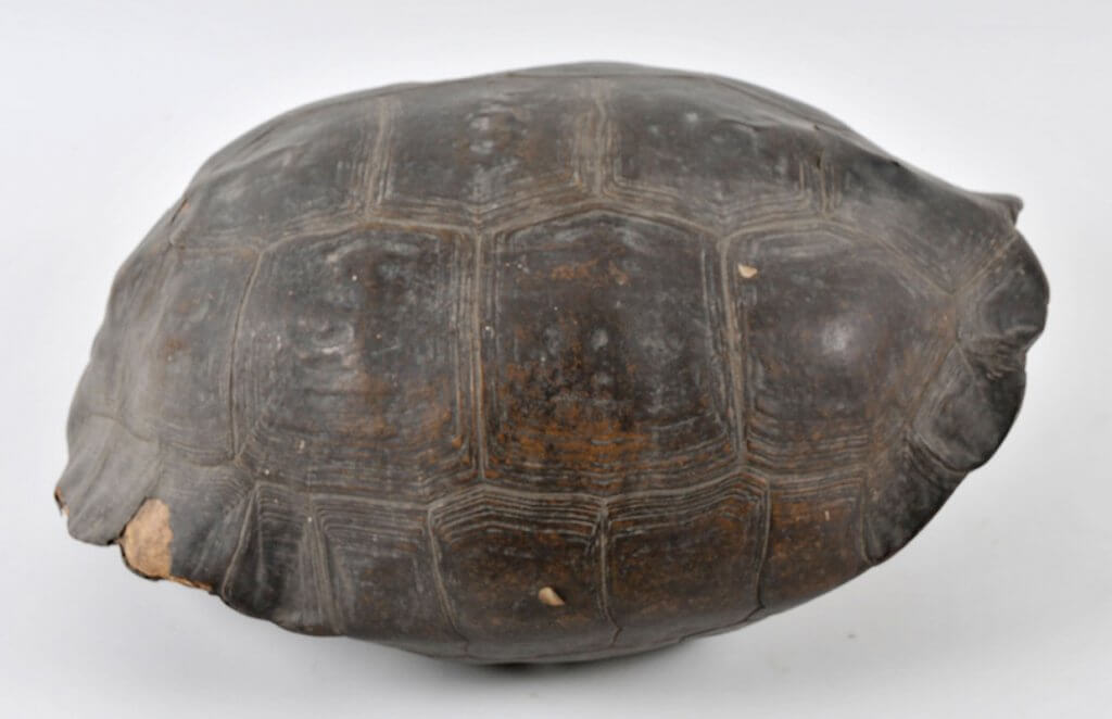 Tortoise shell from a Nantucket whaleship, 19th century.